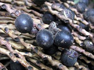 Fruits d'ungurahua donnant l'huile de soin pour cheveu de la gamme Rahua Amazon Beauty